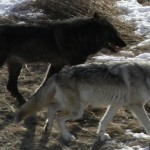Black phase and gray phase wolves