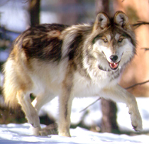mexican-wolf-agfd