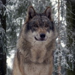 Russian wolf