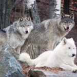 Gray wolves are not always gray in color
