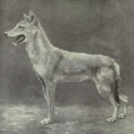 Artist's rendering of an Egyptian wolf