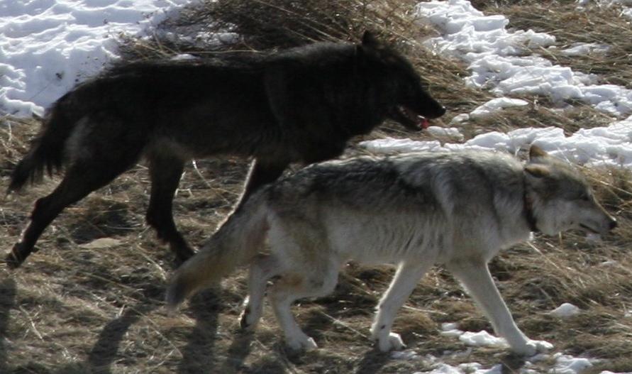 Glossary | International Wolf Center