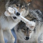 Gray wolf with moose bone