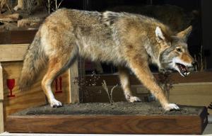 Coyote_WWL