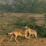 Desert wolves in India