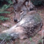 Eastern/eastern timber wolf