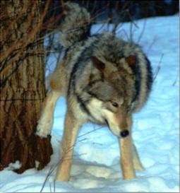 Communication | International Wolf Center