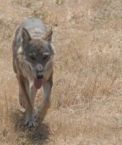 Italian wolf (Creative Commons)