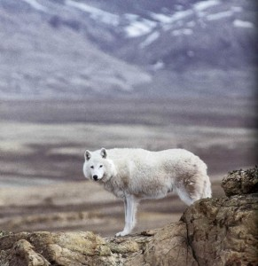 Arctic wolf on Canadian landscape