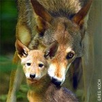 Adult red wolf with pup