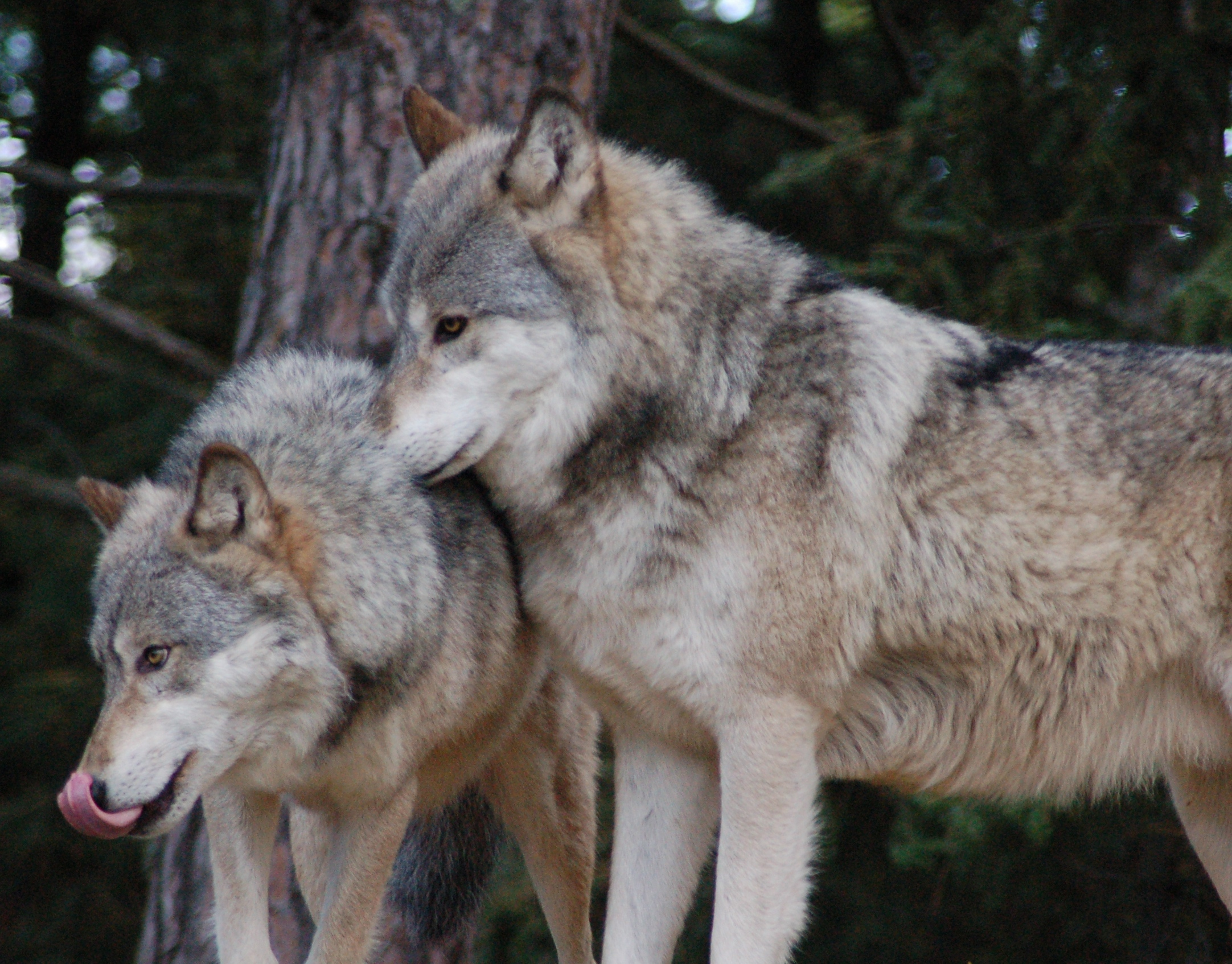 Glossary | International Wolf Center