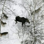 Wolves hunting a moose on Isle Royale