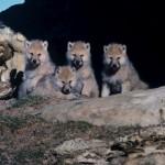 Arctic wolf pups.