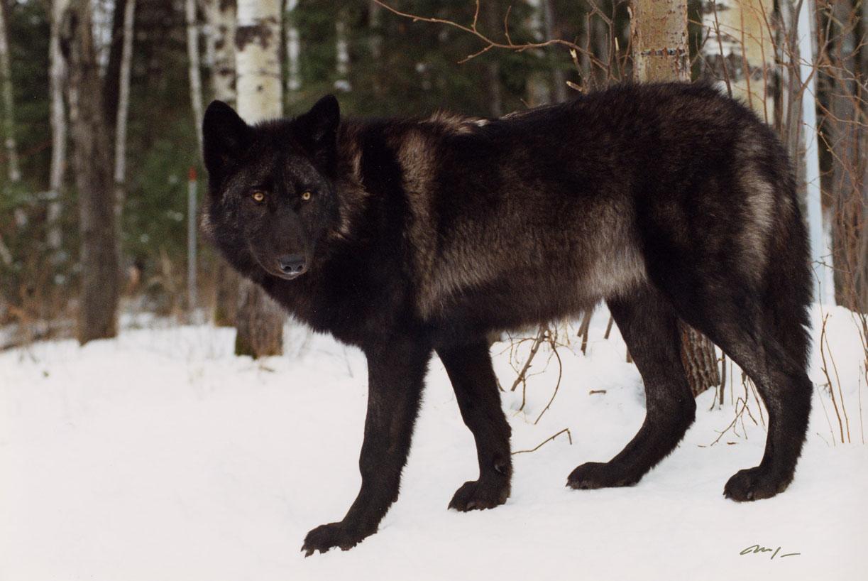 Wolves: International Wolf Center